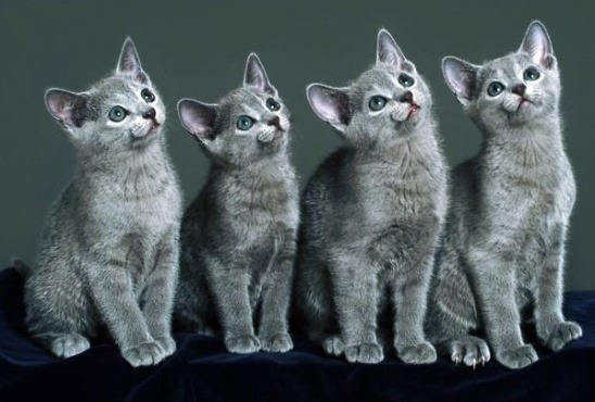 russian blue kittens.png